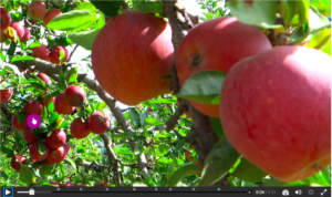 Thumbnail featuring apples that links to an interactive video